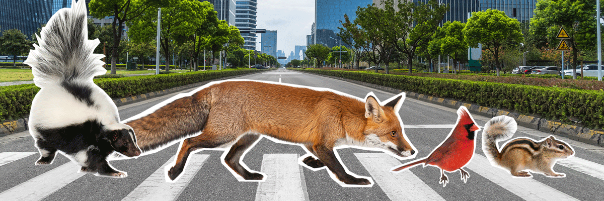 Four animals crossing the road (skunk, fox, cardinal and chipmunk)