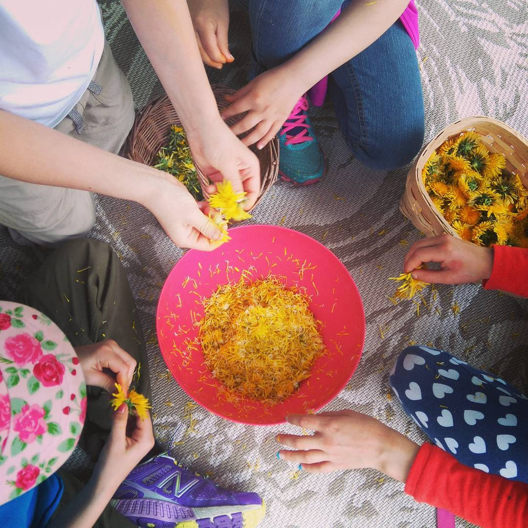 The Young Herbalists Club preparing dandelion flowers for syrup