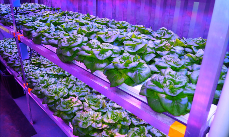 Plants in rows under ultraviolet light