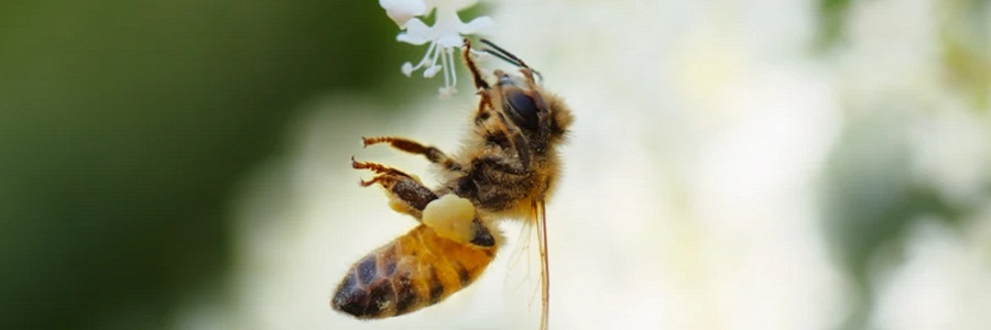 Picture of a bee on a flower.